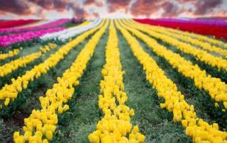 tulips-3408-Edit