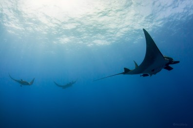 Giant Manta Rays, Socorro Islands, Mexico