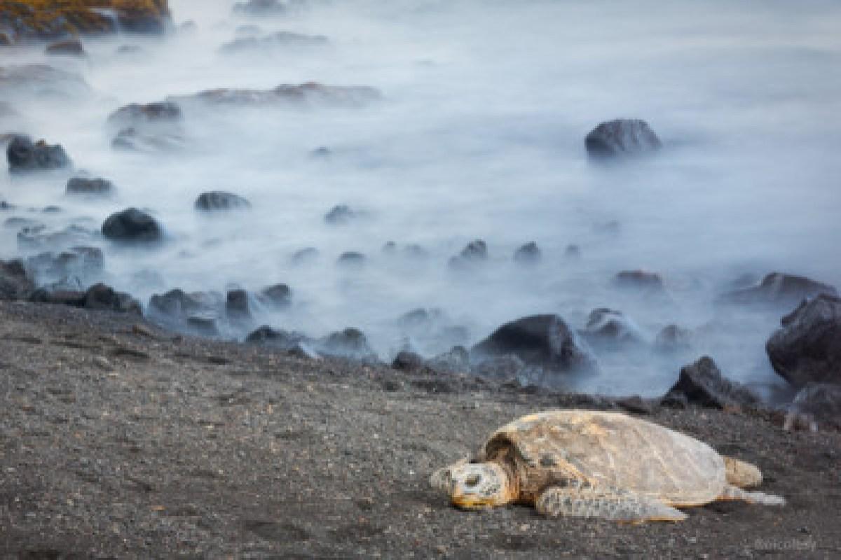 A Sea Turtle at Punalu'u Beach on the Big Island of Hawaii