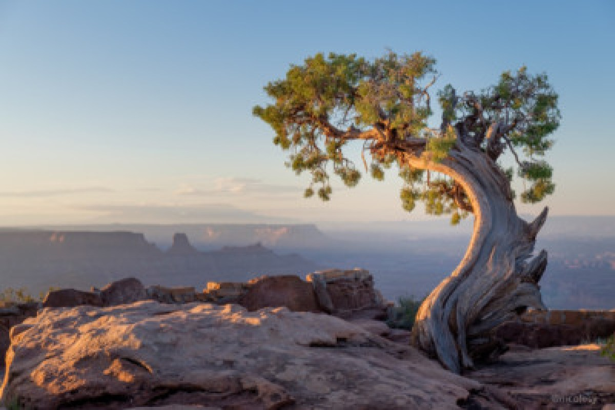 Juniper Tree in Moab, Utah