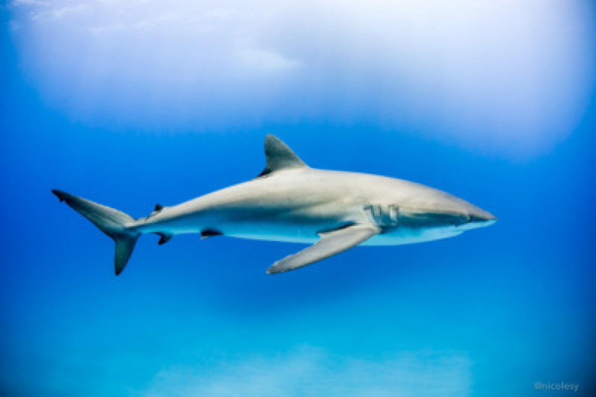 Silky shark in the Socorro Islands