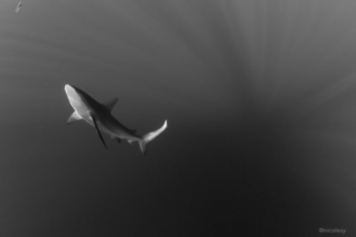 Silky shark in the Socorro Islands