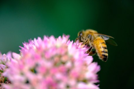 This photo is in focus, but it's also the wrong end of the bee! (FUJIFILM X-T2, FUJINON 60mm lens, 1/680 sec at f/2.4, ISO 400) (© Nicole S. Young — nicolesy.com)