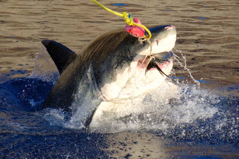 A great white shark jumping for tuna bait. © Nicole S. Young — nicolesy.com