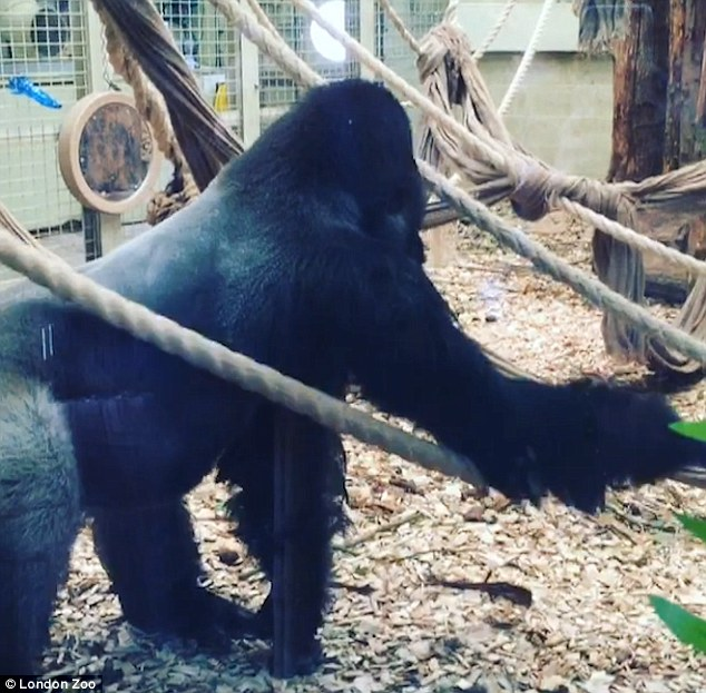 Born Free Want 'Urgent Inquiry' Over The Gorilla What Escaped From London Zoo