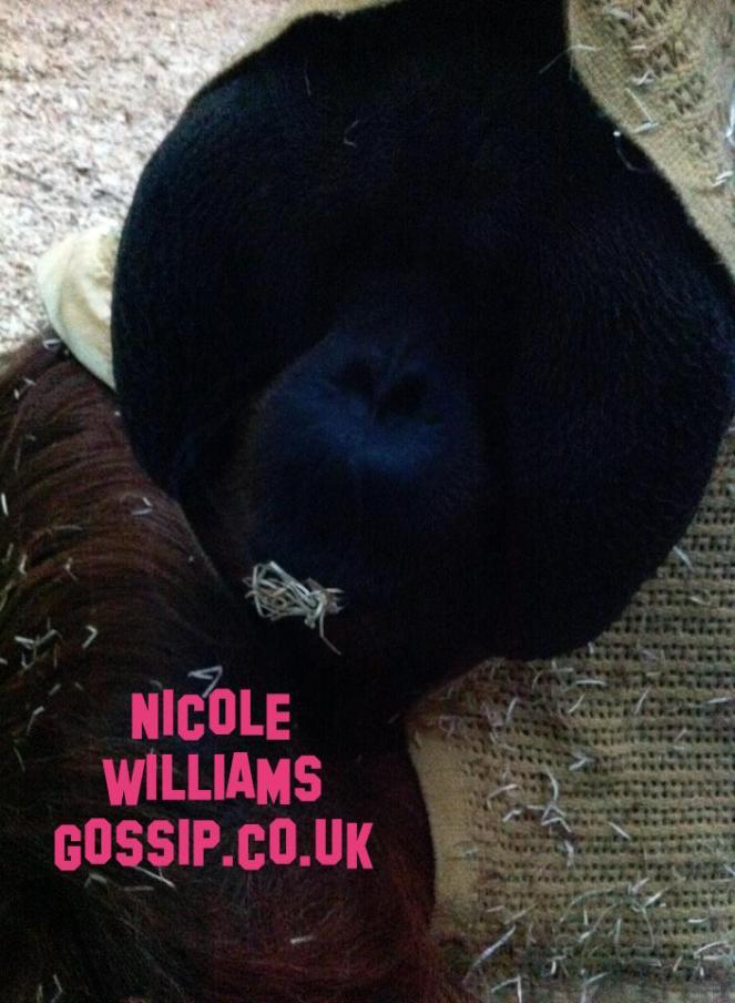 Orangutan Does Magic Trick At Colchester Zoo