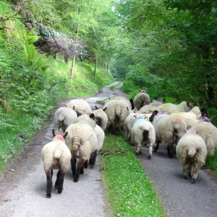 Rundreise-irland-reisetipps-irland-Ballaghbeama-Pass-schafdemo
