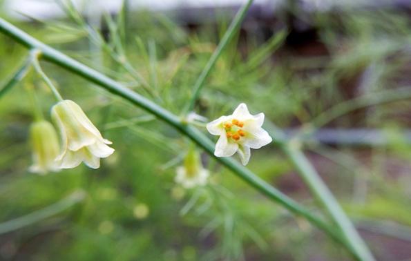 アスパラガス-花