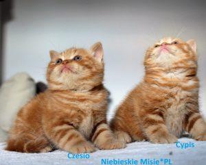 Koty Brytyjskie BSH d 22