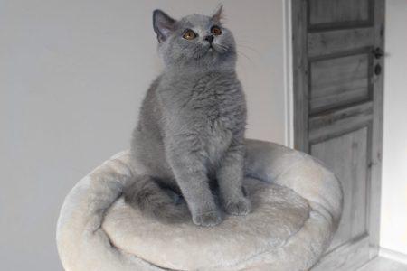 koty brytyjskie miot g