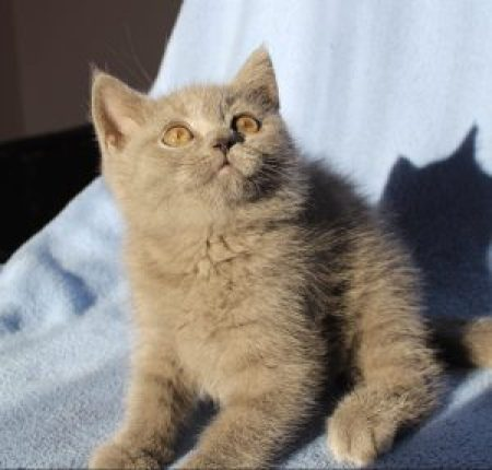 koty brytyjskie niebieskie miot f 018