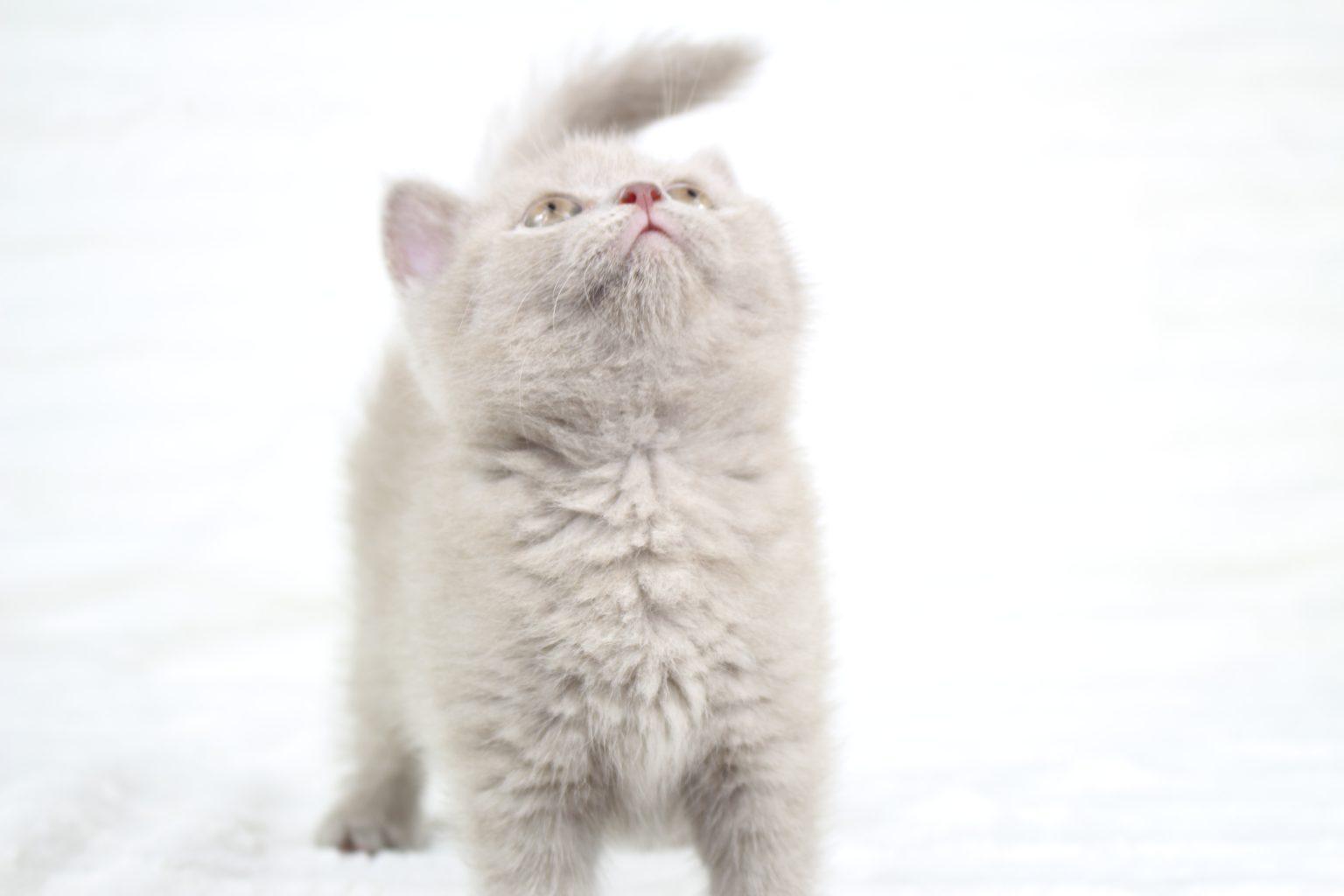 Koty Brytyjskie Liliowe Pipi 16 Hodowla Kotów Brytyjskich