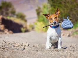 pies, podróż, paszport dla zwierzęcia, jack russell