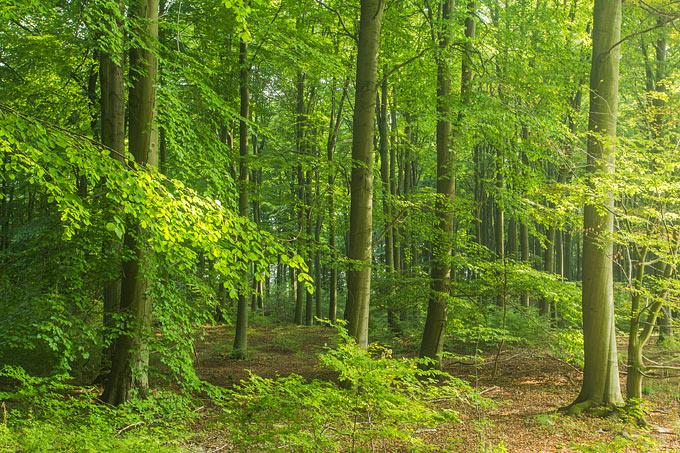 Rotbuchenwälder Foto: NABU/Klemens Karkow