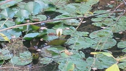 Nénuphar en fleur