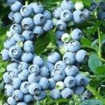 Blauwe Bes Vaccinium Corymbosum Bluejay
