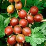 Kruisbes Ribes Uva Crispa Hinnonmaki Röd