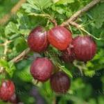 Kruisbes Ribes Uva Crispa Pax