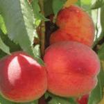 Perik Prunus Persica Avalon Pride