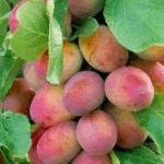 Pruim Prunus Domestica Reine Victoria