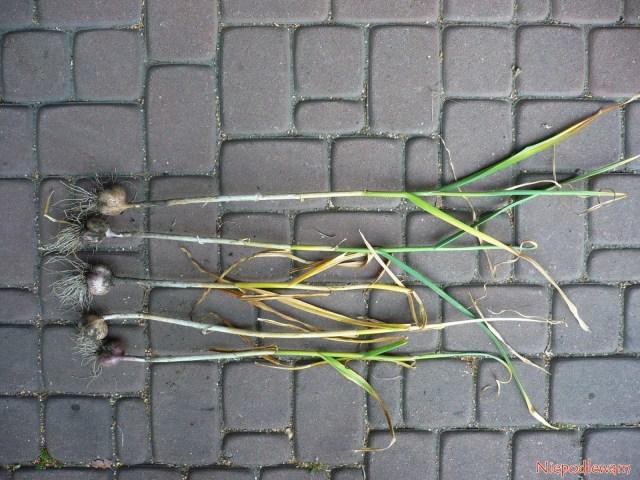 Gotowy dowykopania czosnek ma 50-60% zaschniętych liści. Fot.Niepodlewam Gotowy dowykopania czosnek ma 50-60% zaschniętych liści. Fot.Niepodlewam