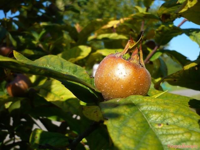 Nieszpułka zwyczajna (Mespilus germanica) odmiany Nottingham. Fot.Niepodlewam