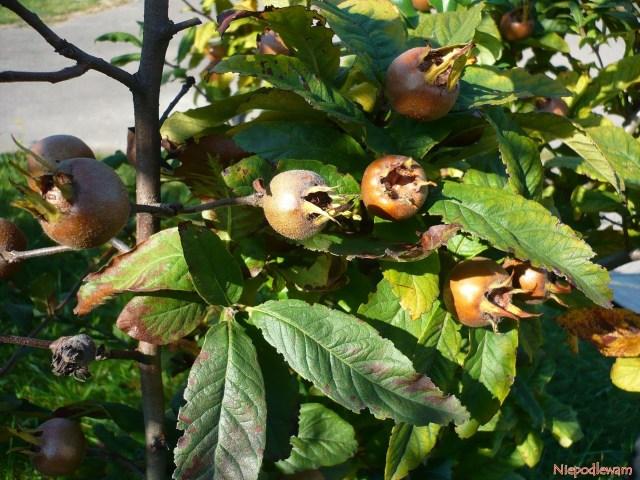 Pod koniec lata liście nieszpułki przebarwiają się nażółto, brązowieją iopadają. Owoce zaś zostają nagałęziach. Fot.Niepodlewam