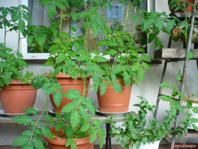 Pomidor Malinowy Kapturek doskonale rośnie nazadaszonych balkonach itarasach. Donice muszą być duże, niemniejsze niż opojemności 5 l. Fot.Niepodlewam
