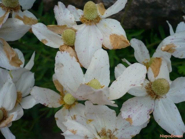 Plamy napłatkach kwiatów niesą oznaką choroby leczprzekwitania. Nienależy ich ścinać, gdyniemniej piękne są nasiona wyglądające jak puch. Fot.Niepodlewam