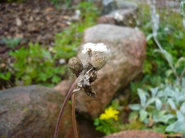 Zawilce wielkokwiatowe doskonale rosną naskalniakach, zwłaszcza obok wapieni. Nazdjęciu jest uchwycony moment wydawania nasion. Fot.Niepodlewam