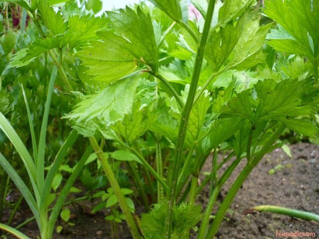 Przykład dobrego sąsiedztwa: seler ipor. Te warzywa mają podobne wymagania pokarmowe - lubią dużo potasu. Fot.Niepodlewam