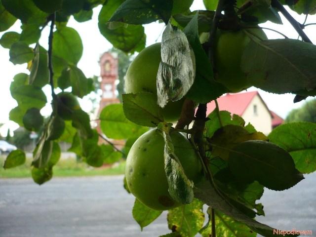 Jabłoń Kosztela - można ją dość często spotkać wstarych ogrodach isadach. Fot.Niepodlewam
