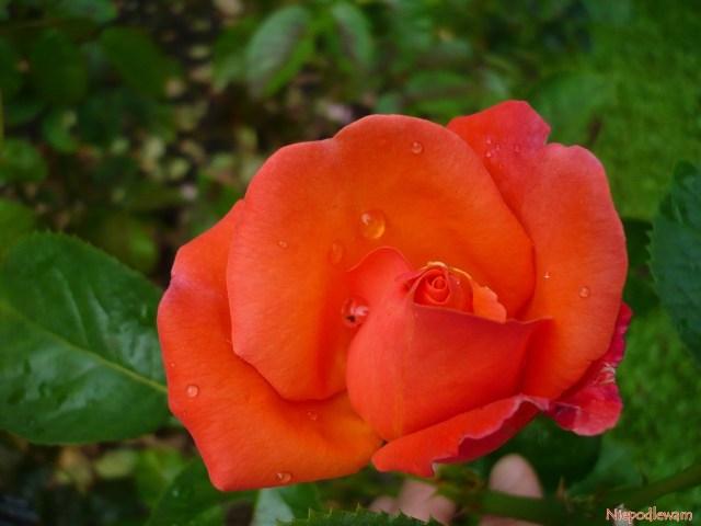 Róża Troika toodmiana omocnym zapachu. Fot.Niepodlewam