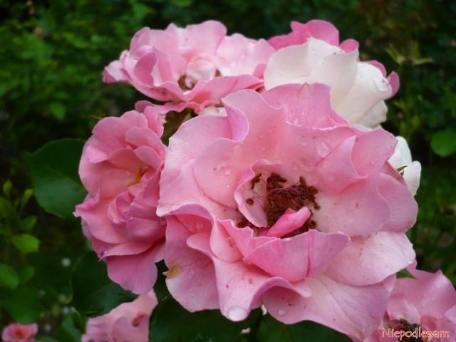 Róża odmiany Alicja - jej półpełne, różowe kwiaty mają charakterystyczne falbanki. Fot.Niepodlewam