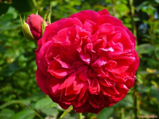 Róża William Shakespeare - odmiana oczerwonych, silnie pachnących kwiatach przypominających dalie lub piwonie. Fot.Niepodlewam