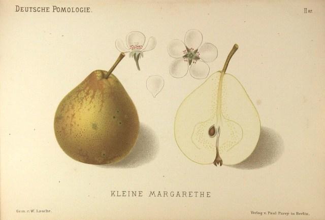 """Grusza odmiany Winiówka Francuska (Małgorzatka), nazywana także często Małgorzatka – rysunek zksiążki """"Deutsche Pomologie"""" Wilhelma Lauche z1882-1883, zezborów biblioteki Wageningen UR."""