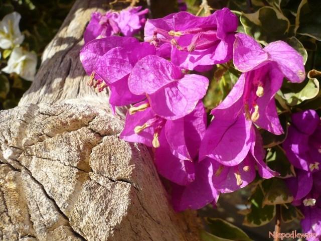 Bugenwilla topnącze, alepoprzez mocne cięcie można ją prowadzić jako niskie drzewko, anawet bonsai. Jej drewno jest jasne, porowate. Fot.Niepodlewam