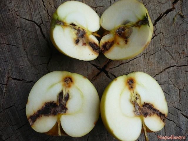 Robaczywieniu jabłek można zapobiegać. Nietrzeba stosować oprysków. Fot.Niepodlewam