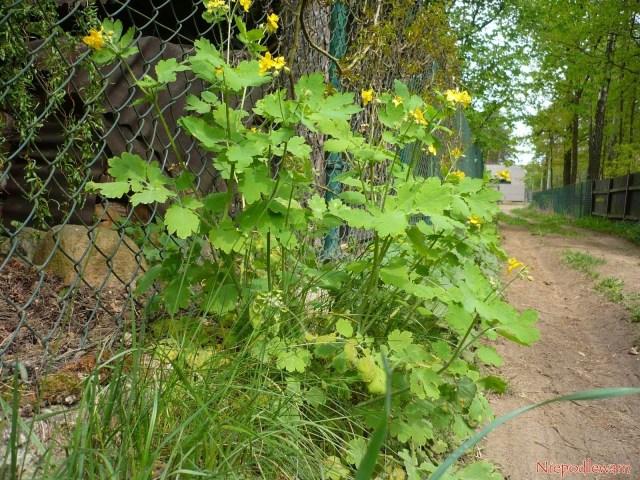 Glistnik jaskółcze ziele (Chelidonium majus) często rośnie naskrajach półcienistych dróg. Pozłamaniu dowolnej jego części, zglistnika wycieka pomarańczowy sok. Fot.Niepodlewam