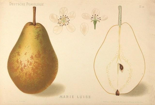 """Grusza Maria Ludwika – rysunek zksiążki """"Deutsche Pomologie"""" Wilhelma Lauche z1882-1883, zezborów biblioteki Wageningen UR."""