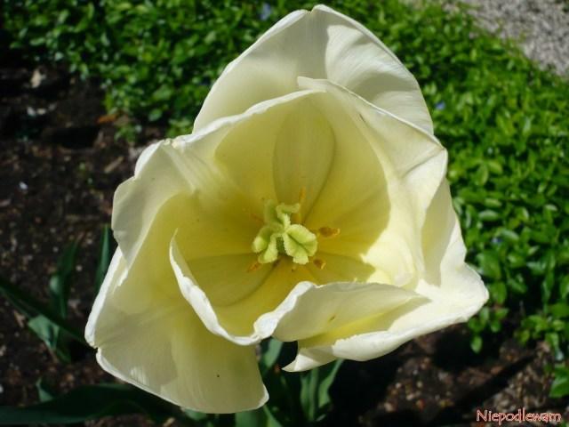 Tulipan Maria Kaczyńska ma jasne także wnętrze kwiatu, wtym słupek ipręciki. Fot.Niepodlewam