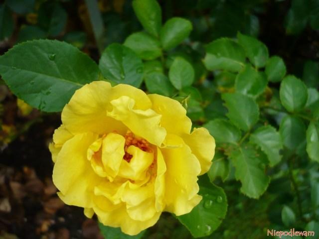 Róża Reine Lucia ma kwiaty żółte, średnio mocno pachnące. Fot.Niepodlewam