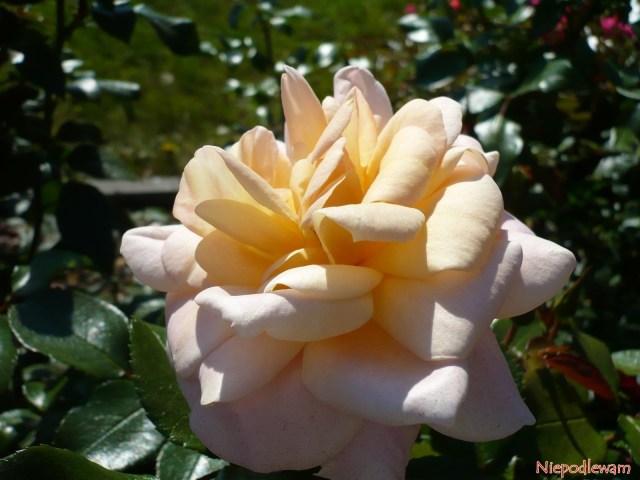 Kwiaty róży Lions Rose przypominają kształtem grzywę lwa. Fot.Niepodlewam