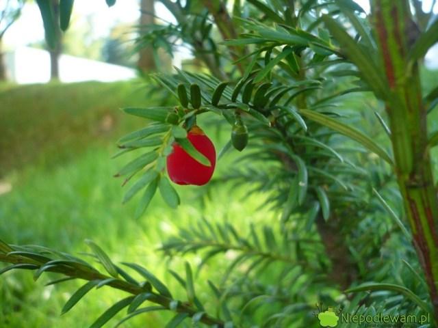 Cis pospolity Elegantissima toodmiana żeńska, wcześnie zawiązująca czerwone nibyjagody, zwane popularnie owocami. Ten egzemplarz rośnie przedOperą iFilharmonią Podlaską wBiałymstoku. Fot.Niepodlewam