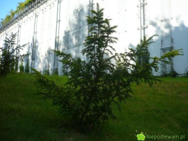 Cis pospolity Elegantissima ma nieregularny, rozłożysty pokrój. Fot.Niepodlewam