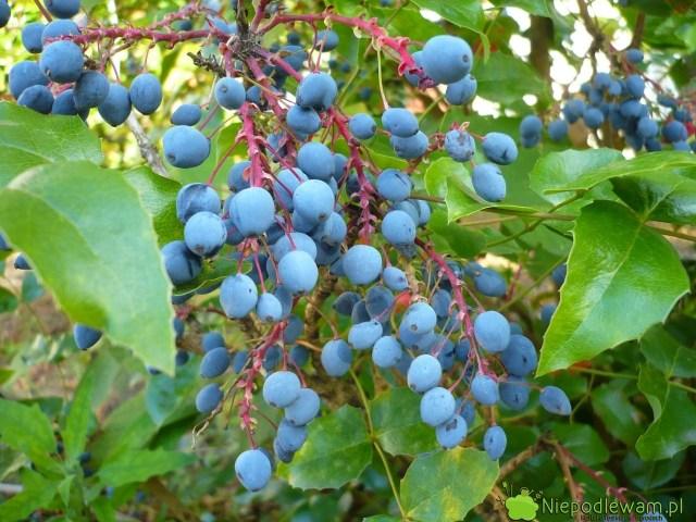 Mahonia pospolita (Mahonia aquifolium) kwitnie nażółto ima granatowe, jadalne owoce. Fot.Niepodlewam