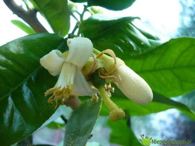 Kwiaty cytryny mocno iprzyjemnie pachną. Można je zrywać iwrzucać np.doherbaty. Fot.Niepodlewam