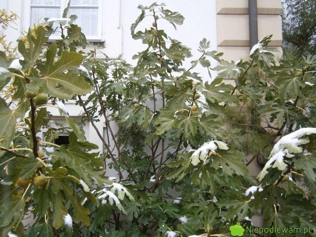 Figa jadalna zimą - ta rośnie przedMuzeum Ogrodu Botanicznego Uniwersytetu Jagiellońskiego wKrakowie. Fot.Niepodlewam