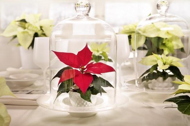 Ozdobą gwiazd betlejemskich są kolorowe przykwiatki, np.czerwone ikremowe. Prawdziwe kwiaty są