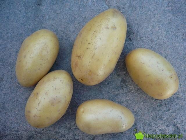 Obierek zziemniaków nienależy wyrzucać nakompost. Mogą być źródłem zarazy ziemniaczanej pomidorów. Fot.Niepodlewam